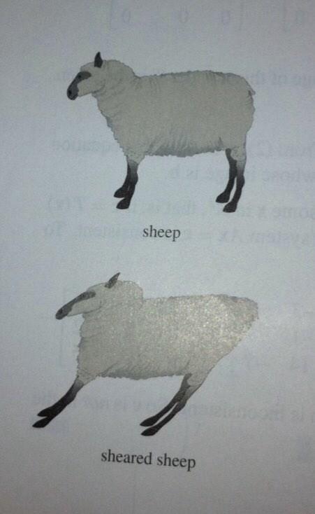 sheep-01-sheep-sheared-sheep