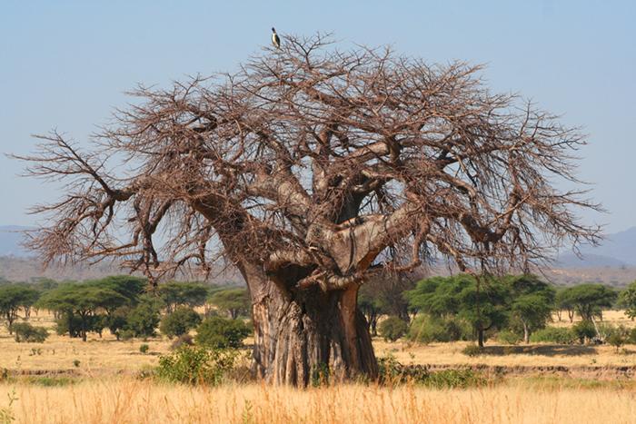 baobab-ruaha-flo-montgomery