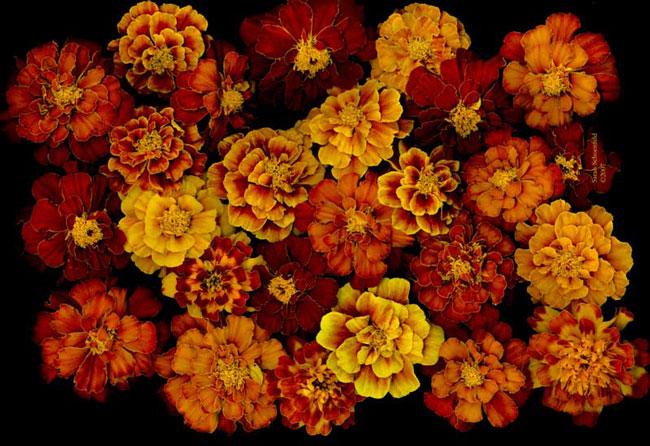 Marigolds_Galore_600
